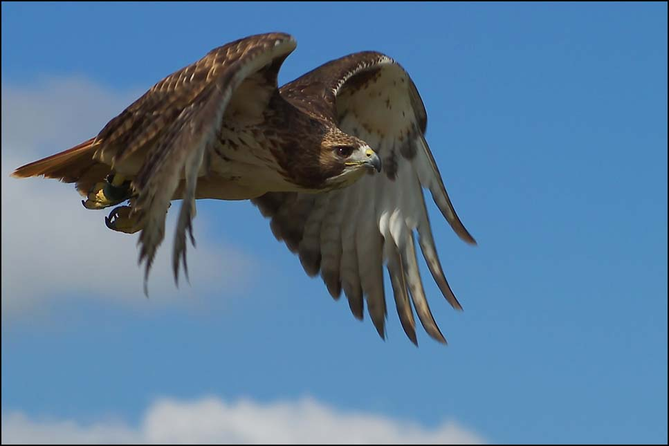 red tailed kite bird of prey in flight on a clear blue day