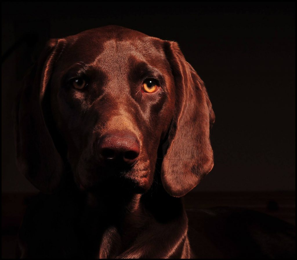 Low Key Studio portrait of a brown German Short Hair Pointer against a black background